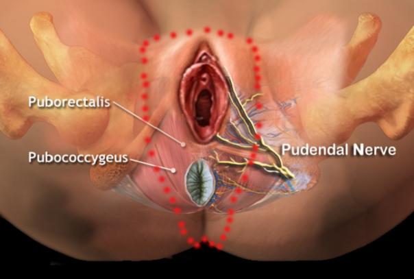 pudendal-nerve